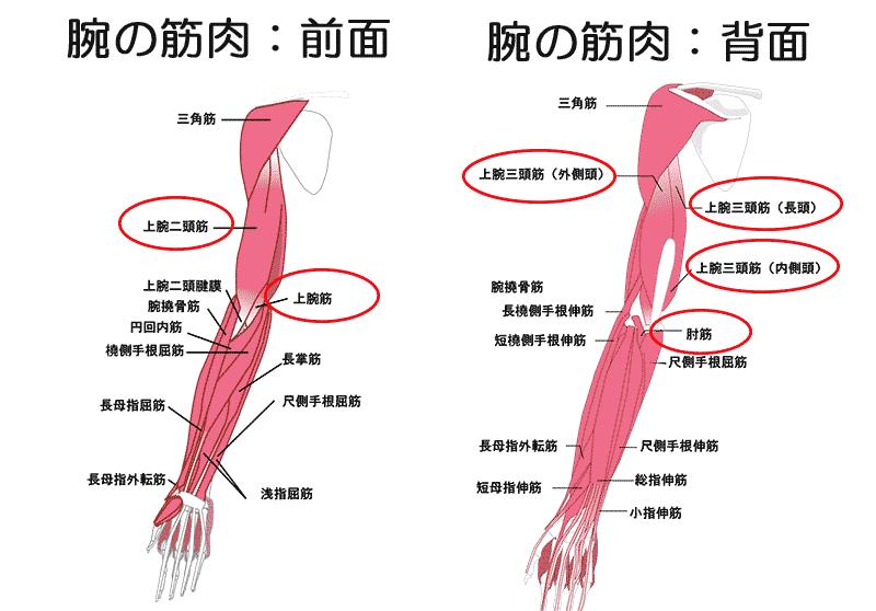 上腕部の筋肉部位5種