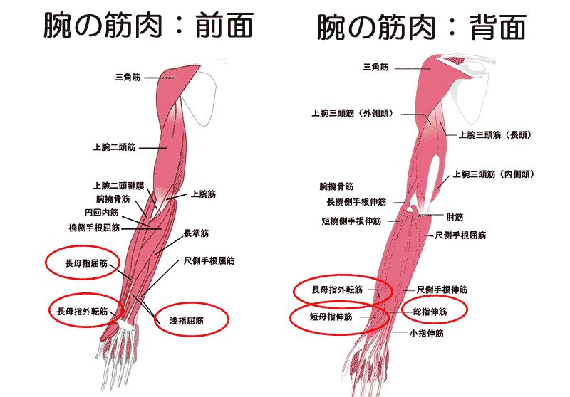 前腕部の筋肉部位10種類